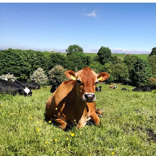 The garlic-fed cows combating global warming